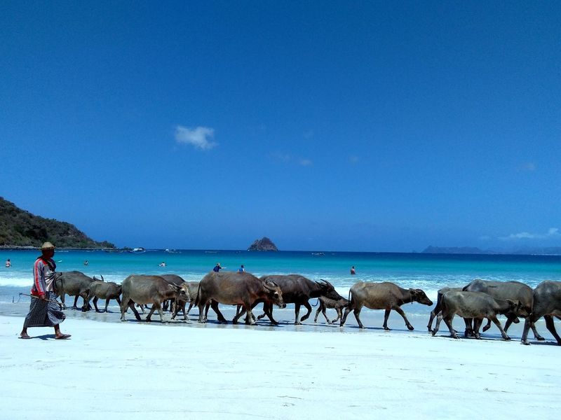 INDONESIA Travel Water Buffalo Beach Beauty In Nature Blue Day Horizon Over Water Large Group Of Animals Livestock Mammal Nature Outdoors People Real People Scenics Sea Selong Belanak, Lombok Sheppard Sky Togetherness Water