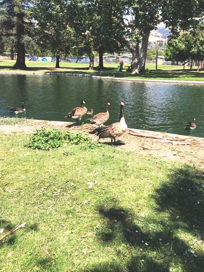 At The Park First Eyeem Photo Mother Nature Creativity Geese Quack Quack Park Recreation