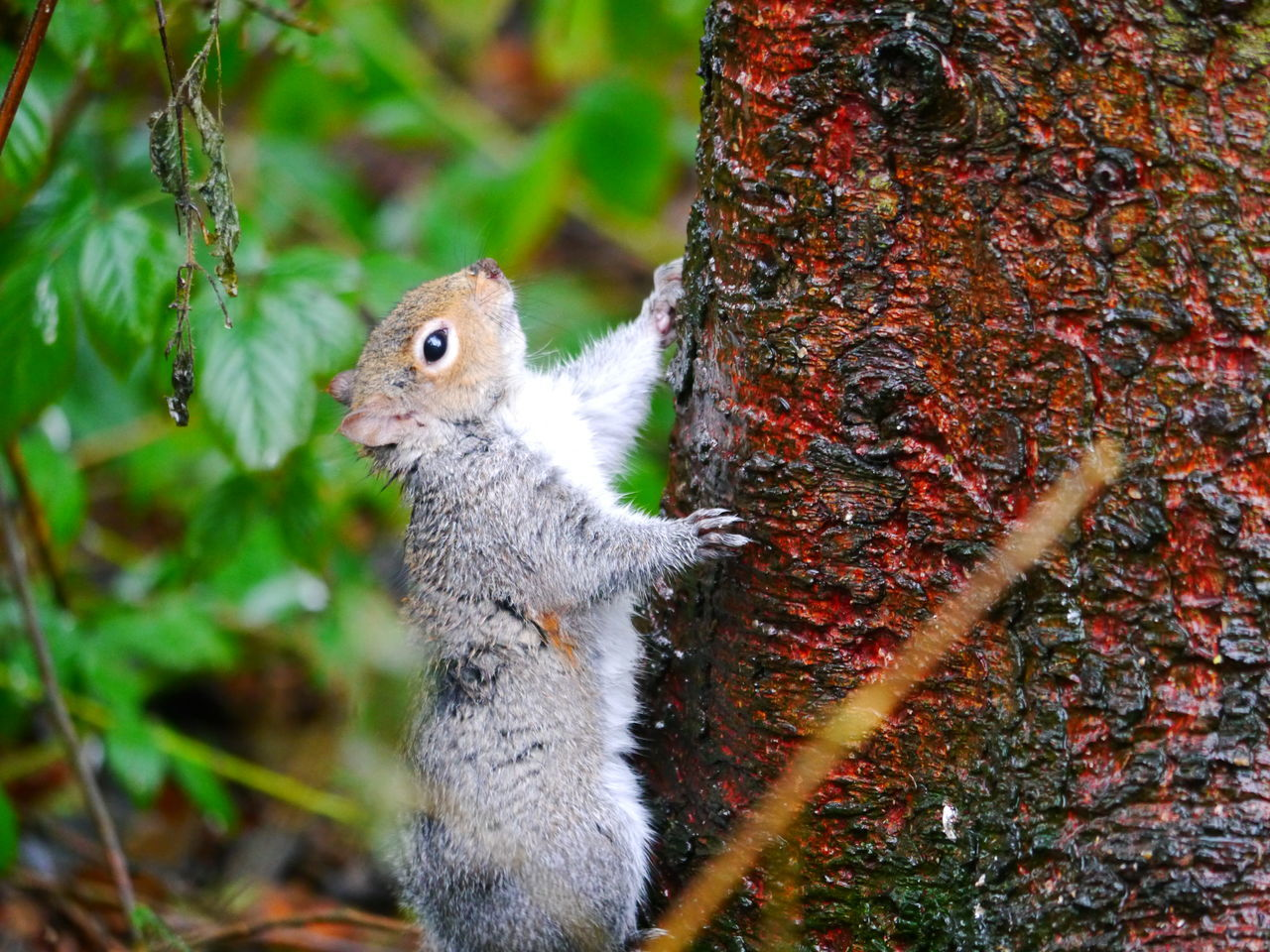 tree trunk, squirrel, one animal, rodent, animals in the wild, animal themes, tree, nature, outdoors, no people, day, animal wildlife, mammal, close-up