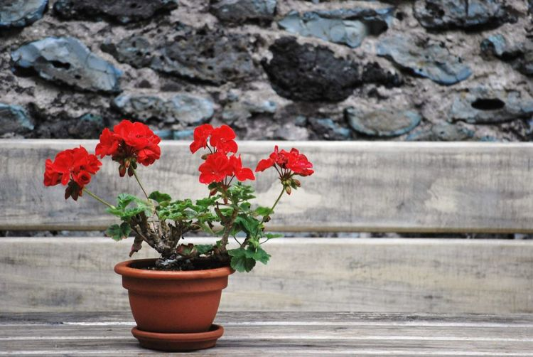Close-up of red potted plant against wall