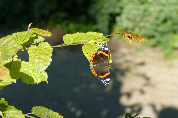 Beauty In Nature Butterfly Colorful Focus On Foreground Leaf Leaf Vein Vanessa Atalanta Wildlife