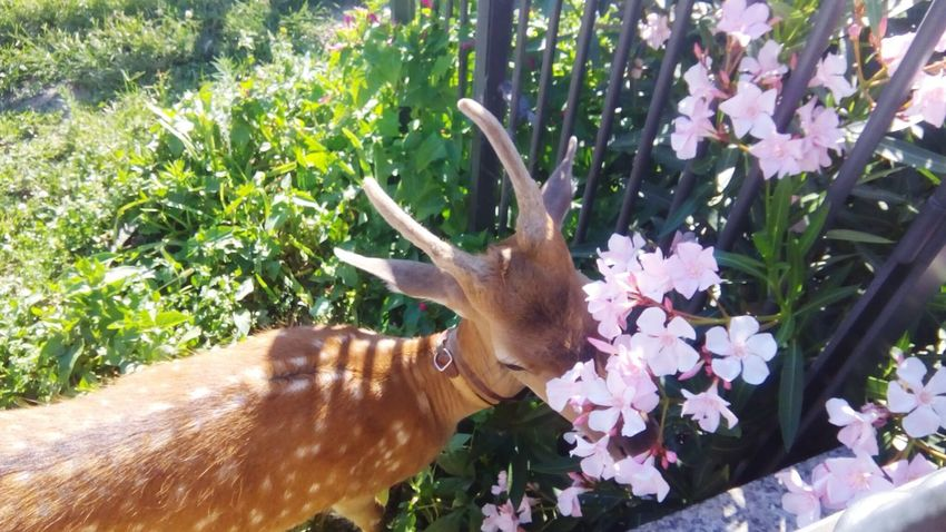 Fawn among the flowers Fawn Fawn😍 Fawn Lying In The Grass Animal Themes Animal Photography Animal Love Flower Plant Close-up Flower Head