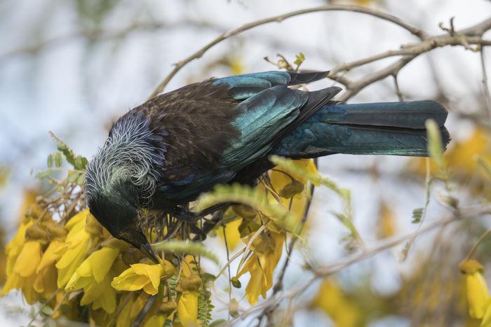 Tui Nature Beauty In Nature Native Birds Newzealand