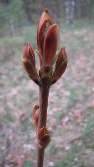 Green Branches Trees Spring Bonsai IKEBANA Bourgeons Nature Kidneys Macro