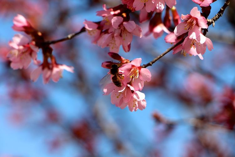 Low Angle View Of Bee Pollinating On Plum Blossom