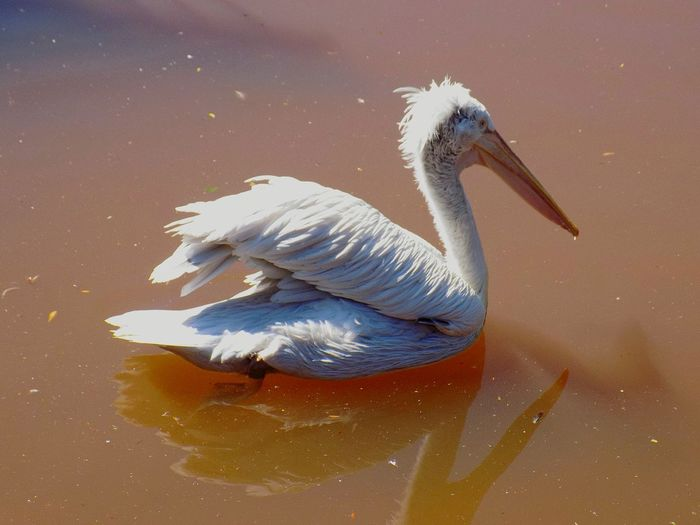 Pelican swimming in pond at paignton zoo environmental park