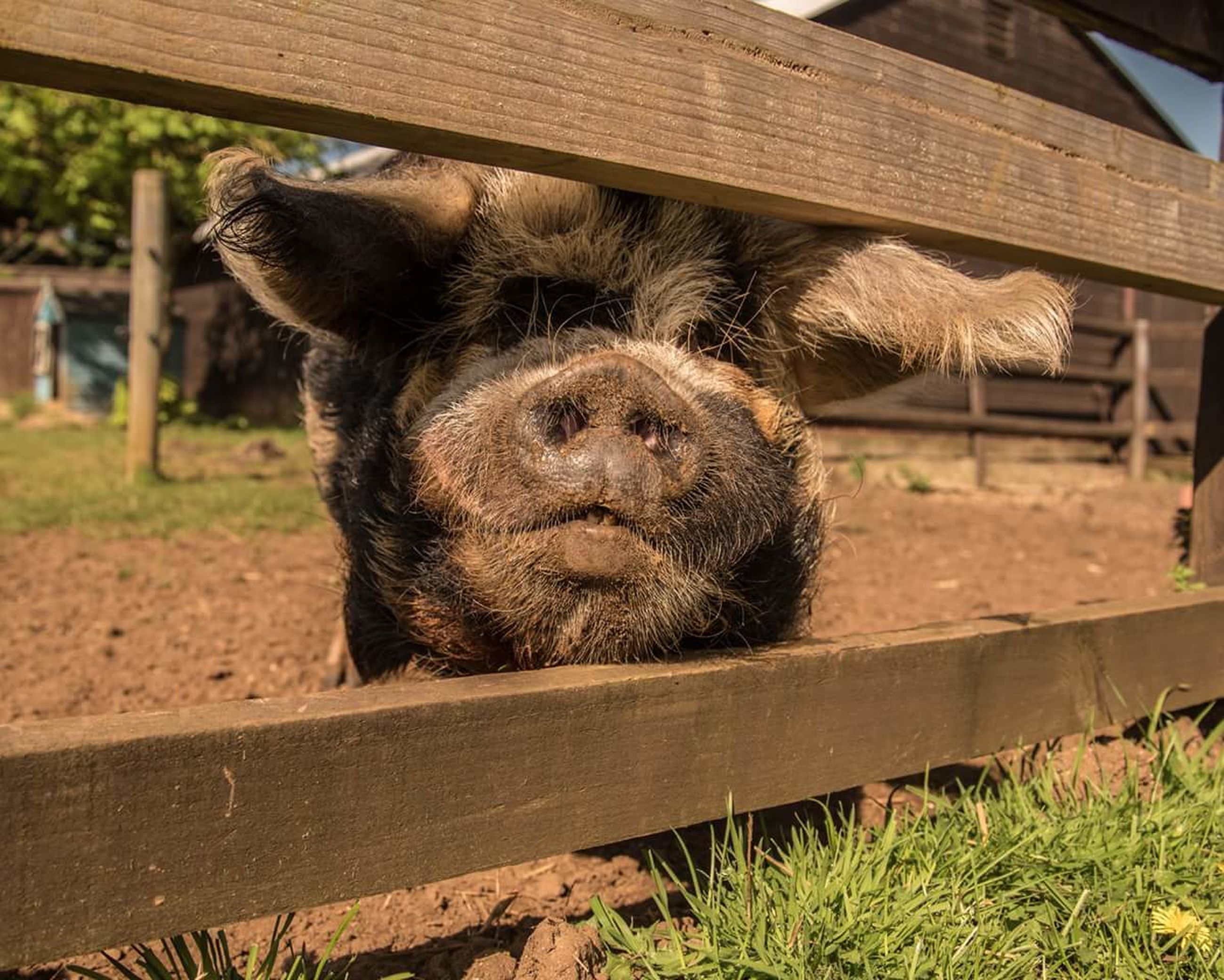 mammal, animal, animal themes, one animal, vertebrate, animal wildlife, wood - material, no people, day, animals in the wild, domestic animals, brown, pets, nature, domestic, zoo, relaxation, outdoors, boundary, portrait, animal head, animal pen, herbivorous