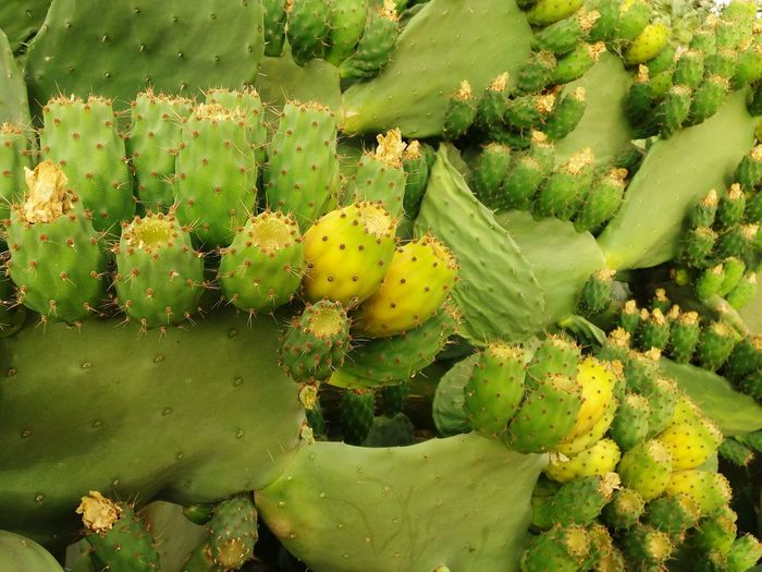 Prickly Pear 🌵 Company Prickly Pear Prickly Pear Beauty Figue De Barbarie Cactus Flower Yellow Idaougnidif Antiatlas Daylight Prickly Pear Flowers Prickly Pear Cactus Cactus Close-up Green Color Plant Barrel Cactus Plant Life In Bloom Botany Blossom Flower Head Pollen Blooming