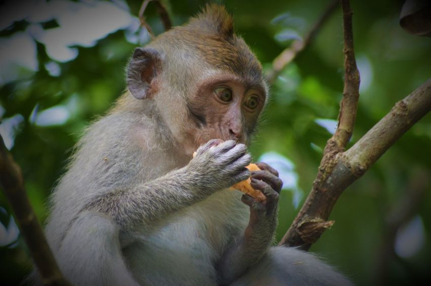 Balinese long-tailed monkey - Macaca - macaque. Monkey Animals In The Wild Wildlife Photography Animal Themes Animal Wildlife Animals In The Wild Balinese Branch Close-up Cute Animals Day Focus On Foreground Infant Macaque Mammal Monkey Monkey Forest Ubud Nature One Animal Outdoors Portrait Primate Ubud