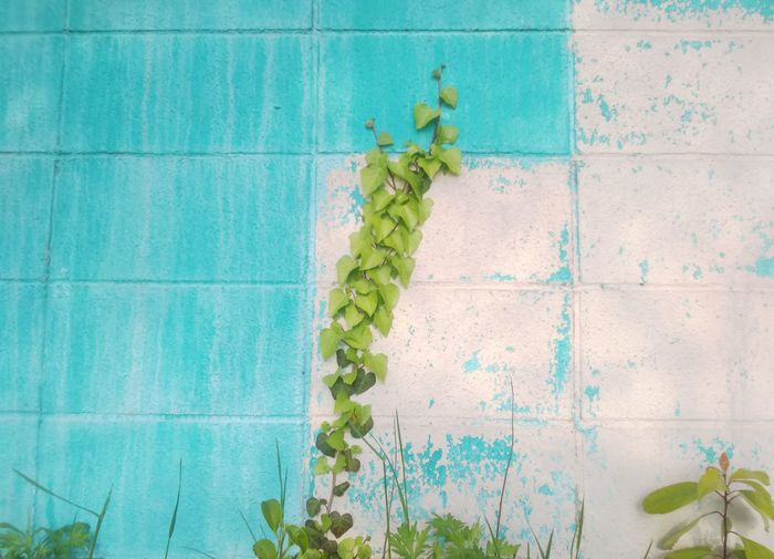 Ivy growing on wall by swimming pool