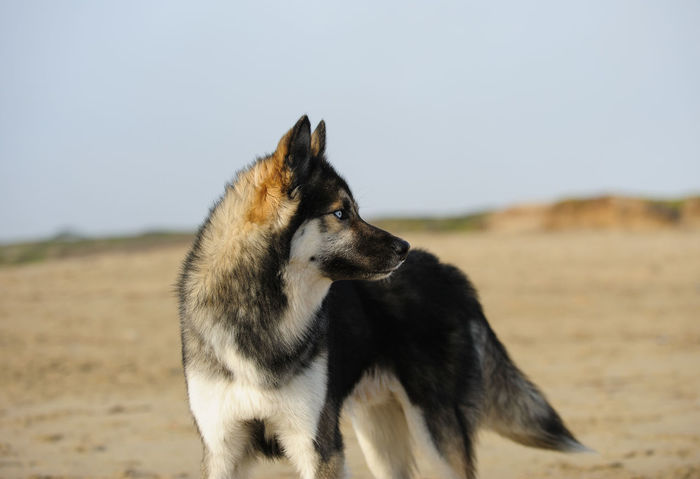 Siberian Husky dog Animal Themes Beach Day Dog Husky No People Outdoors Pet Siberian Husky