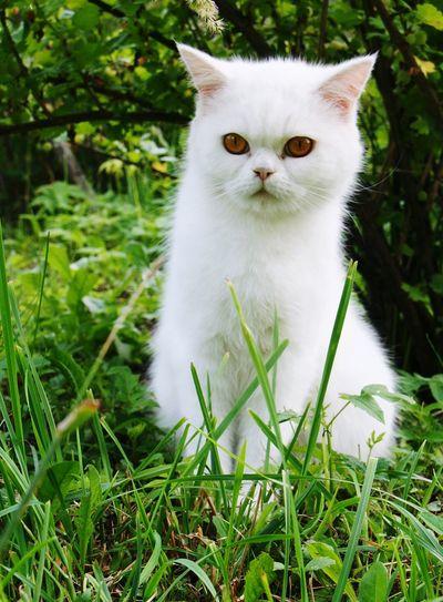 Puff Kitten Pets Portrait Protruding Feline Domestic Cat Persian Cat  Looking At Camera Ear Friendship