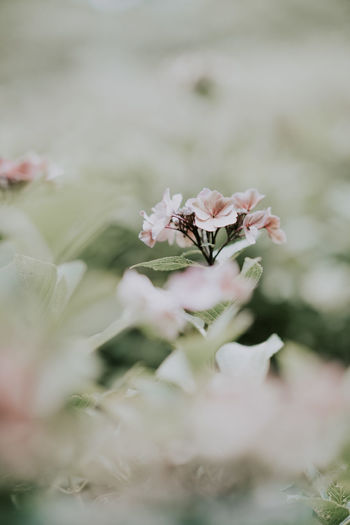 Delicate pale hydrangea flowers Flower Plant Flowering Plant Beauty In Nature Freshness Vulnerability  Fragility Growth Selective Focus Close-up Petal Nature Pink Color No People Day White Color Flower Head Inflorescence Outdoors Springtime Cherry Blossom