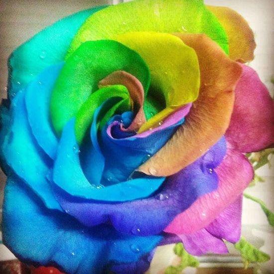 TakeoverContrast Close-up Single Flower Flower Freshness Petal Flower Head Vibrant Color Rose - Flower In Bloom Rainbow Rose Collection RainbowRose