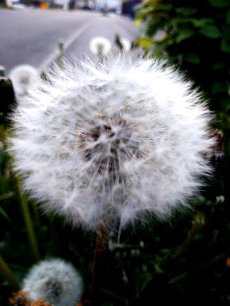 Flower Head Flower Uncultivated Softness White Color Dandelion Close-up Plant