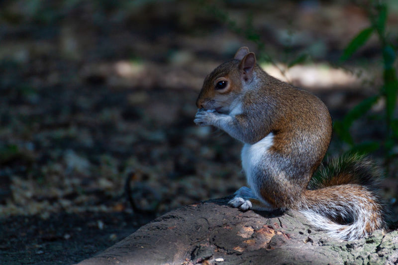 Close-up of squirrel sitting on field