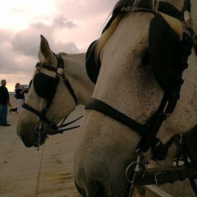Pure Merveille Competition Jockey Riding City Horseback Riding Sunset Agriculture Saddle Horse Working Animal