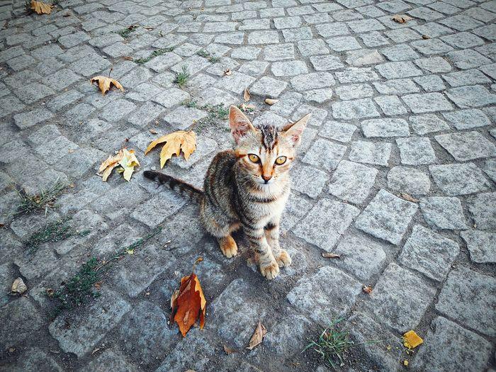 Portrait Of Stray Kitten Sitting On Cobble Street During Autumn