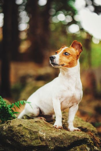 Close-up of a jack russell terrier dog looking away sitting on a rock in the woods