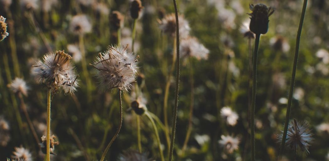 Plant Flower Growth Flowering Plant Beauty In Nature Focus On Foreground Fragility Nature Vulnerability  Plant Stem Day Freshness Land Inflorescence Tranquility Outdoors Flower Head Close-up No People Field