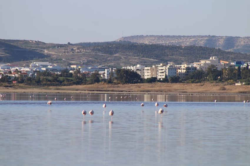 Cyprus Larnaca, Cyprus Larnaca Water Animal Themes Nature Large Group Of Animals Flamingo Animals In The Wild Day Bird No People Lake Beauty In Nature Outdoors Mountain Waterfront Tranquility Scenics Sky Architecture