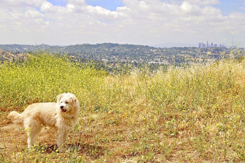 Cloud Dog Grassy Los Angeles Downtown Mountain One Animal Outdoors Sky Standing Tranquility Wild Mustard