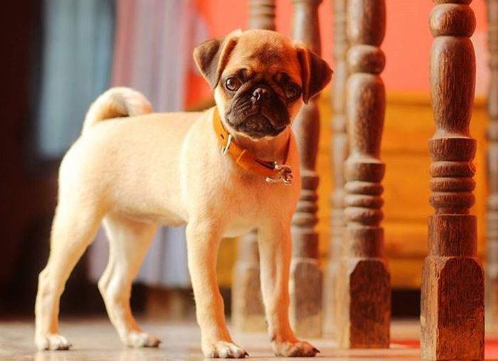 """""""Sometimes its a great relief for some sort of pains ,when there is a puppy to love you more than themself"""" 😊🐕😘 Jainy Pug Puppy Cute Naughty Loving Caring Ck  Photography Canon550D EOS50mm Sunday Click"""