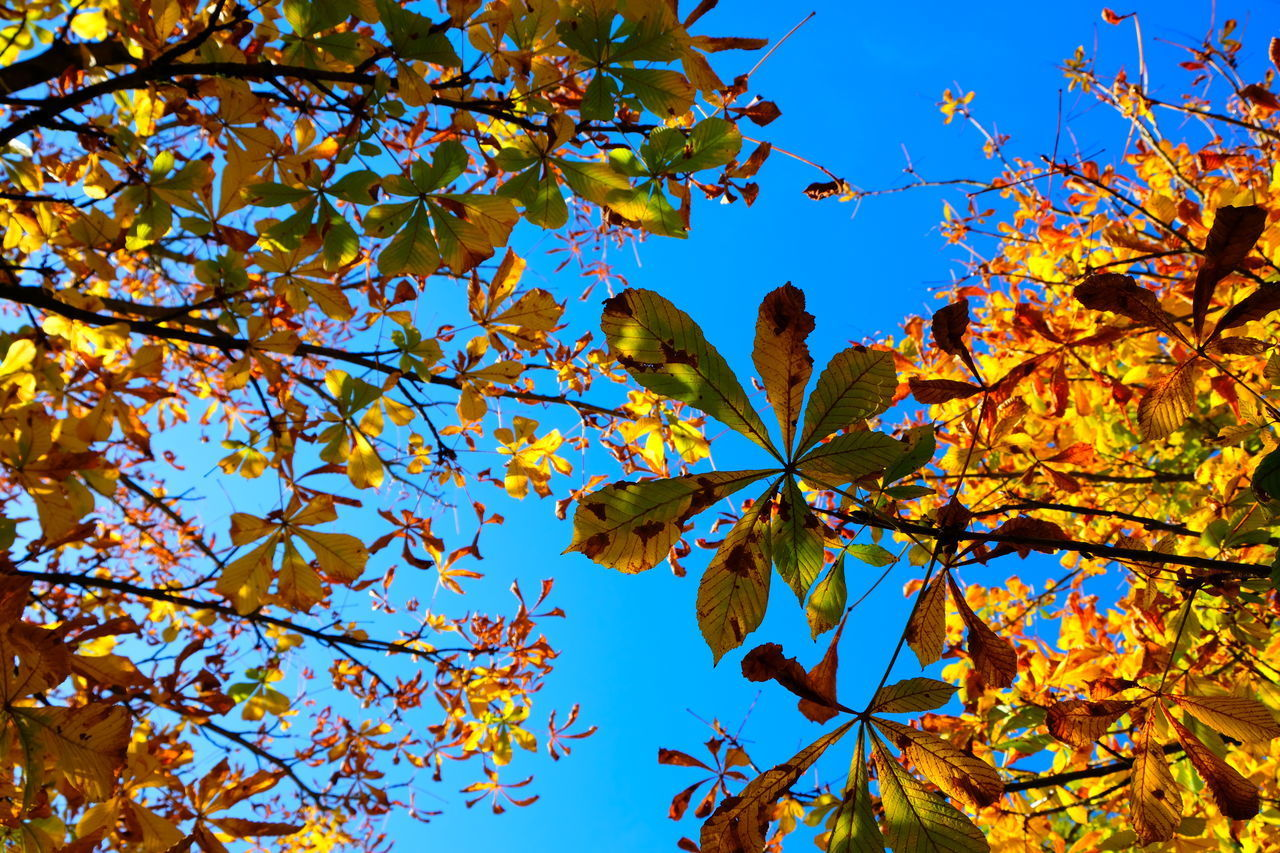tree, autumn, plant part, leaf, plant, low angle view, branch, change, growth, beauty in nature, sky, day, nature, no people, blue, maple tree, maple leaf, fragility, outdoors, sunlight, springtime, leaves, autumn collection, natural condition, cherry blossom