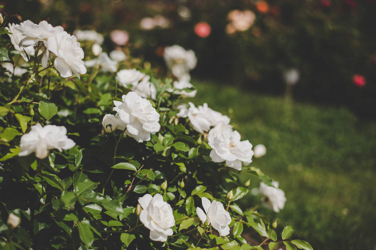 White roses bush Beauty In Nature Blooming Close-up Day Flower Flower Head Focus On Foreground Fragility Freshness Grass Growth Nature No People Outdoors Petal Plant White Color