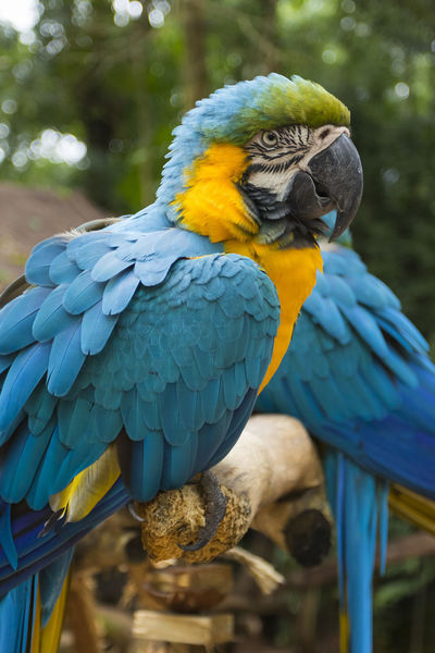 two blue and yellow macaw in a brazilian park Animal Themes Animal Wildlife Animals In The Wild Beauty In Nature Bird Blue Close-up Day Focus On Foreground Gold And Blue Macaw Macaw Nature No People One Animal Outdoors Parrot Perching
