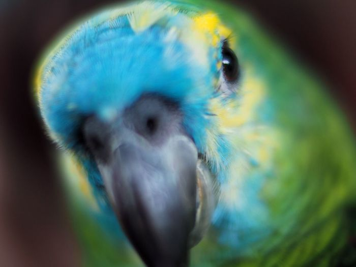Amazona Aestiva Parrot Nature Blue-fronted Amazon Bird Voigtländer Nokton 25mm F0.95 Olympus OM-D E-M5 Mk.II