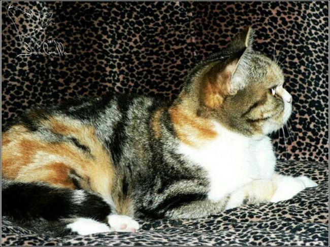 кошка британская короткошерстная мраморная черепаха черепаховая Скарлетт
