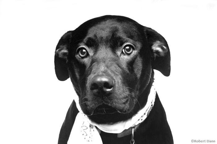 Chloe Animal Themes Close-up Dog Domestic Animals Looking At Camera No People Portrait Studio Shot White Background