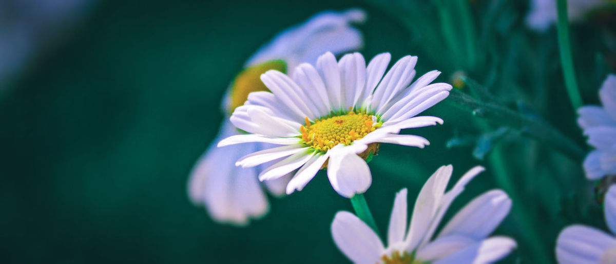 Daisy Beauty In
