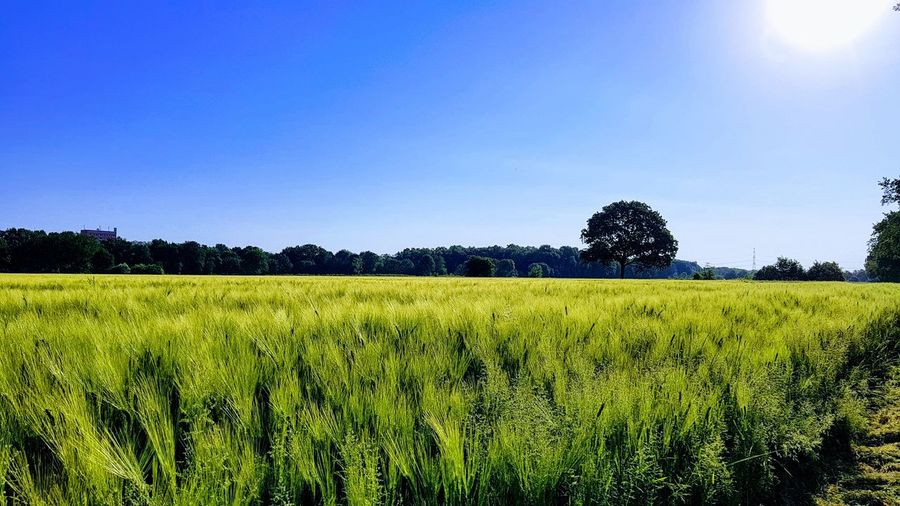 Beautiful Hamburg EyeEm Nature Lover Skyporn Enjoying Life Relaxing Hamburg Eye4photography  EyeEm Best Shots Morning Sky Tree Rural Scene Agriculture Clear Sky Field Crop  Farm Sky Plantation Cereal Plant #urbanana: The Urban Playground