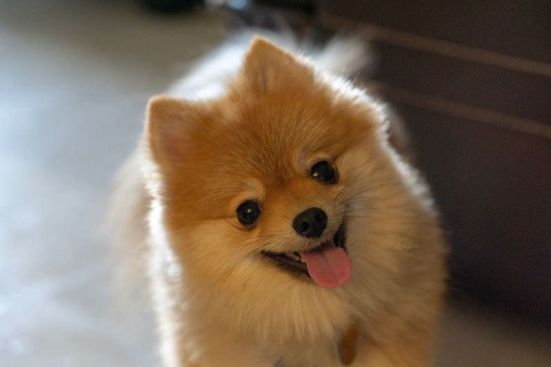 Pommy Dog Pomeranian Puppy Animal Mammal Animal Themes One Animal Domestic Pets Domestic Animals Portrait Indoors  Canine Close-up No People Looking At Camera Vertebrate Dog Animal Body Part Brown Toy Cute Representation