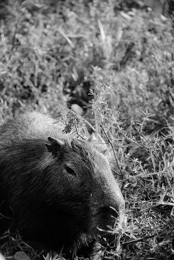 Capibara Carpinchos Argentina Esteros Del Ibera Corrientes