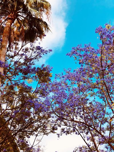 Low angle view of flowering trees against blue sky