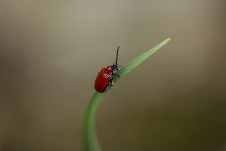 Antenna Beetle Climbing Countryside Green Insect Insect Paparazzi Macro Macro Photography Minimalism Nature Nature Photography Red Red Lily Beetle Uk