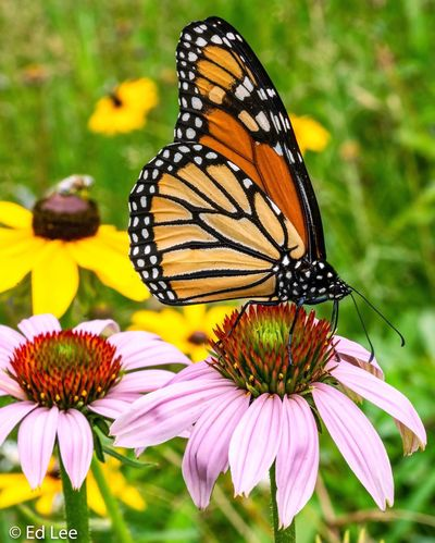 Monarch on Cone Flower Wildlife & Nature Nature Butterfly Minnesota Streamzoofamily Nature_collection Malephotographerofthemonth Flower Flowering Plant Beauty In Nature Insect Plant Invertebrate Animal Themes Butterfly - Insect Close-up Petal