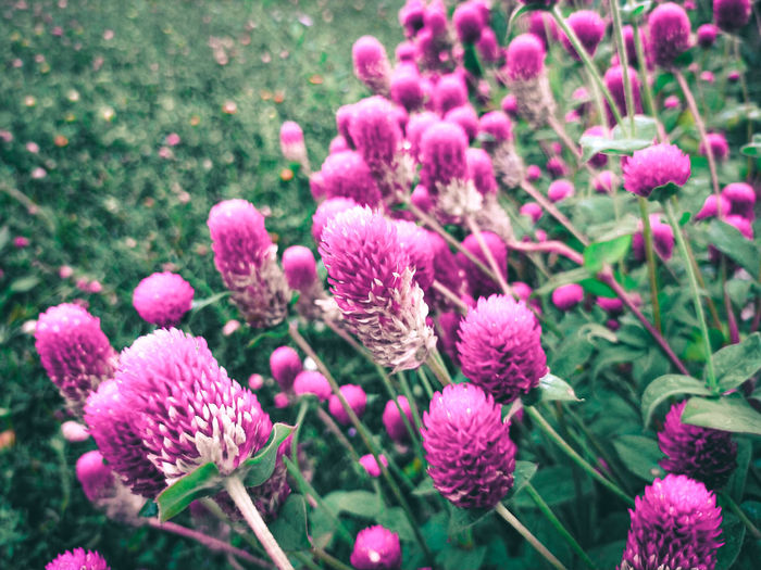 Close-up of pink flowering plants on field