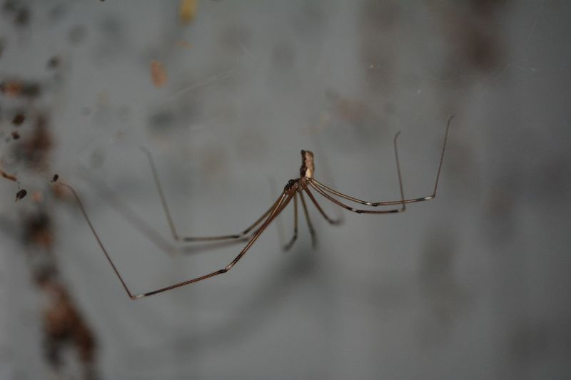 Daddy Longlegs Animal Themes Animal Animal Wildlife Invertebrate One Animal Insect Close-up Focus On Foreground Nature Animal Leg Outdoors Zoology Day Full Length No People Animal Body Part Arachnid Spider Animals In The Wild