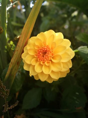 Flower Yellow Nature Freshness Beauty In Nature Fragility Petal Growth Plant Outdoors Flower Head Close-up No People Day