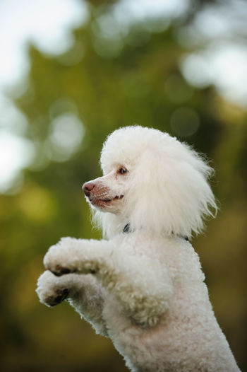 Groomed Nature Poodle Animal Animal Themes Clean Close-up Domestic Animals Miniature Miniature Poodle No People One Animal Pets Photography Portrait Standing Up Vertical White Background White Color