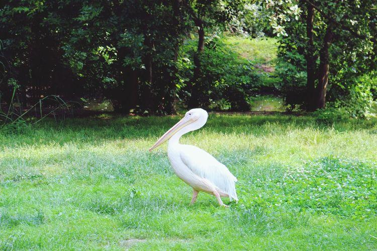 Bird Photography Birds Of EyeEm  Bird Peacock Tree Peacock Feather Swan Animal Themes Grass Green Color Pelican Sea Bird