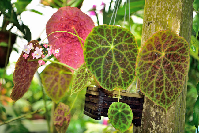 What's Blooming At The Conservatory 1 San Francisco CA🇺🇸 Conservatory Of Flowers Built In 1897 Golden Gate Park Architecture Victorian Style : Italinate Gothic Greenhouse Architectural Detail Glass & Wood Flowers Flower_Collection Blooms Flower Photography Garden _collection Garden_lovers Plants Tropics Sub-Tropics Botany Horticulture Nature Beauty In Nature Nature_collection