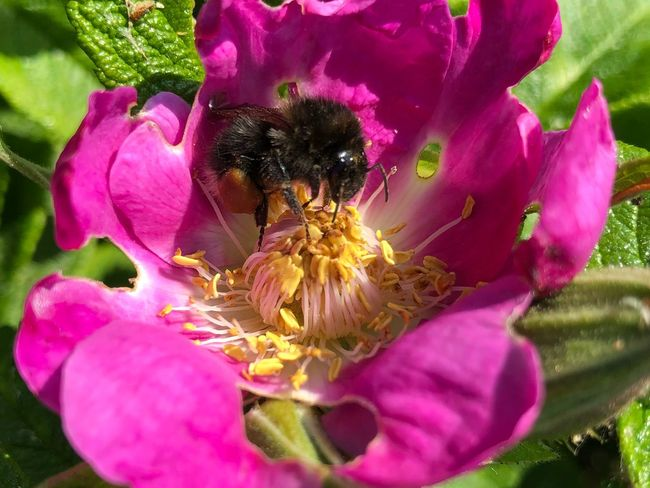 Bumblebee Prerow IPhone X IPhone X Photography Flowering Plant Flower Plant Petal Flower Head Pink Color Freshness Beauty In Nature Inflorescence Fragility Pollen Growth No People Close-up Vulnerability  Nature Insect Invertebrate Day Outdoors