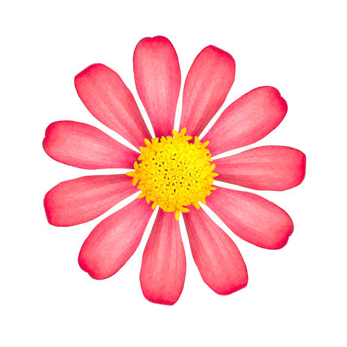 Red flower isolated on white background. Beautiful blossom with yellow pollen. ( Clipping path ) Studio Shot Flower Flowering Plant Vulnerability  Petal White Background Fragility Close-up Freshness Flower Head Beauty In Nature Inflorescence Plant Indoors  Yellow Cut Out No People Pollen Pink Color