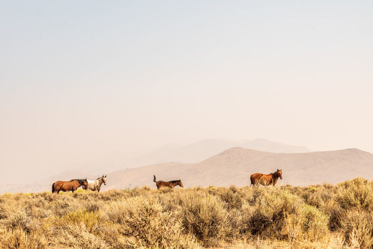 Wild horses grazing in nevada desert , the hills obscured by smoke from california forest fires