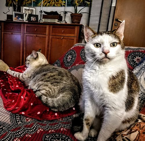Domestic Cat Pets Feline Portrait Looking At Camera Cats Of EyeEm Home Sweet Home